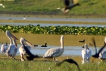 pelecanus_onocrotalus_pelican_comun