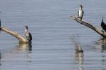 phalacrocorax-pygmeus-cormoran-mic