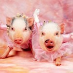 Că tot veni vorba de porc…